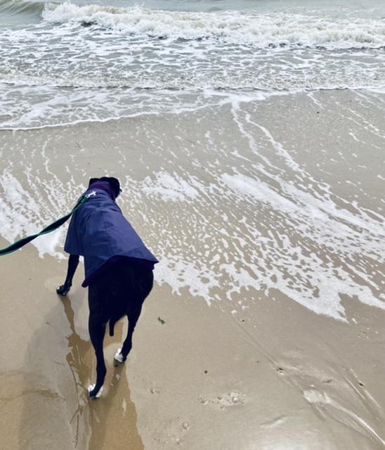 A greyhound sniffs an incoming wave.